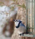 在饲养者的蓝色尖嘴鸟 免版税库存照片