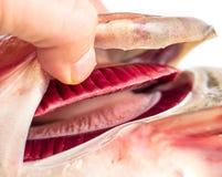 在鱼的新鲜的红色鳃 免版税库存图片
