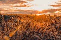 在麦田的不可思议的日落 免版税库存照片