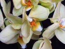 在黑背景的白色和黄色兰花束 叫作飞蛾的兰花植物 库存照片