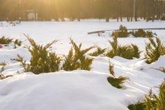 在雪下位置的美丽的常青灌木与太阳光芒的在冬天冷淡的好日子在公园 在温暖的颜色的自然背景 免版税库存图片
