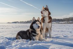 在雪的令人敬畏的西伯利亚爱斯基摩人狗画象 与蓝天的冬天 库存照片