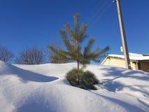 在雪的美丽的孤独的小的杉木反对天空蔚蓝 免版税库存照片
