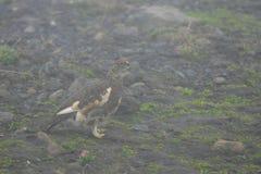 在雾的雪松鸡在Fimmvörduhals山口,冰岛 库存照片