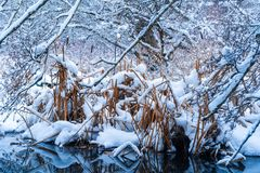 在降雪的高草在BC温哥华三角洲的暴风雪以后,在烧伤沼泽 斯诺伊森林场面 库存照片