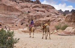在Petra考古学公园的流浪的骆驼 库存照片