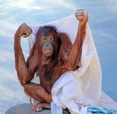 在ZooTampa的幼小猩猩洛瑞公园的 免版税库存照片