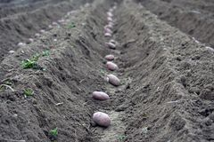 土豆的领域在沟槽的 免版税库存照片
