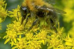 土蜂在黄色花的花蜜哺养在夏天 免版税库存照片