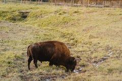 北美野牛哺养在自然保护在供人潮笑者公园,衣阿华 免版税库存图片