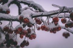 北部的冷冻果子 免版税库存照片