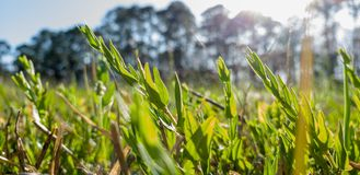 刺穿的太阳在草和花草甸  免版税图库摄影