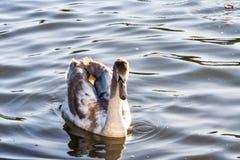 Łabędź na jezioro wodzie w zmierzchu dniu, łabędź na stawie, natur serie zdjęcie royalty free