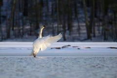 Łabędź na Zamarzniętym jeziorze w zimie zdjęcia stock