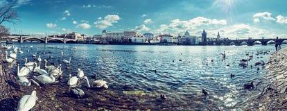 Łabędź w Vltava i Charles moscie w Praga, panorama obraz stock