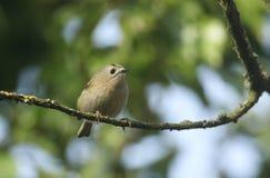 Ładny Goldcrest Regulus regulus tyczenie na gałąź w drzewie Ja tropi dla insektów jeść obrazy royalty free