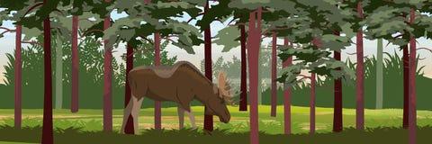Łoś w gęstych sosnowych lasowych dzikich zwierzętach Eurasia, Scandinavia, Kanada i Ameryka, ilustracja wektor