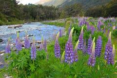 Łubinu Lupinus polyphyllus wzdłuż drogi Milford dźwięk, Fiordland park narodowy, Nowa Zelandia zdjęcie stock