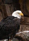 Łysy Eagle Umieszczający na skałach obrazy royalty free