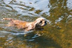 品种美国美卡犬游泳狗在水中 库存图片