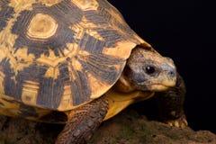 响铃的取决于的草龟Kinixys belliana 免版税库存图片