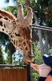 哺养在那不勒斯动物园的长颈鹿 佛罗里达 免版税库存照片