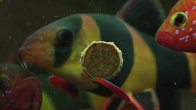 哺养的水族馆鱼用鲜美食物 影视素材