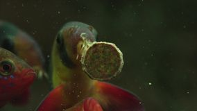 哺养的水族馆鱼用鲜美食物 股票视频