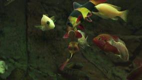 哺养的水族馆鱼用鲜美食物 股票录像