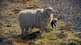冰岛绵羊和羊羔 股票录像