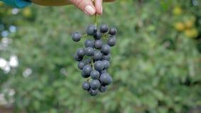 农夫举行一束在照相机的成熟黑葡萄展示的农艺师手 股票录像
