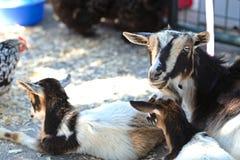 农场山羊 库存照片