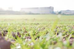 农田和产业背景 麦子新芽在庄稼的 免版税库存照片