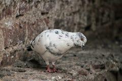 凝视白色的鸽子坐墙壁和下来 免版税库存照片