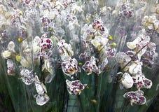 准备待售开花的兰花falenopsis在商店 库存图片