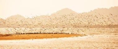 全景视图,在日落,飞行在含沙的水鸟群的水鸟迁移在海 时数横向季节冬天 Libong海岛, 库存照片