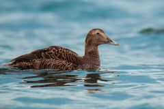 共同的绒鸭女性绒鸭mollissima捷克共和国,在欧洲,美国北海岸居住的美丽的鸟 免版税库存图片