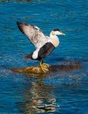 共同的绒鸭绒鸭mollissima、一只大海鸭子被找到在欧洲北海岸和北美洲 它养殖  免版税库存图片