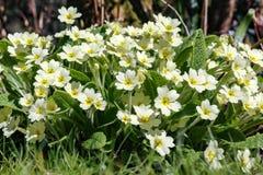 关闭丛樱草属寻常的共同的报春花黄色花  库存图片