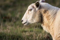 关闭一只男性绵羊或公羊的头 免版税库存照片