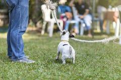 关闭健康和愉快的后面观点的白色狗在与绳索玩具的戏剧猛拉期间在绿草在庭院 库存图片