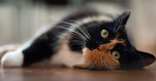 关闭在一个木地板上的逗人喜爱的女性Ragdoll 免版税库存照片