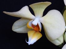 关闭在黑背景的一朵白色和黄色兰花 叫作飞蛾的兰花植物 库存照片