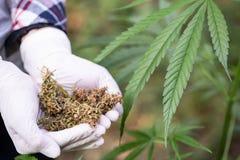 关闭拿着干医疗大麻,替代医学,草本大麻的手 免版税库存图片