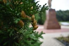 关闭生长在庭院里的年轻金钟柏常青灌木种子室外在夏天 库存照片
