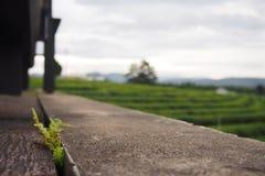 具体地板和蕨位于地板之间的空白在山附近的绿茶庭院里 免版税库存图片