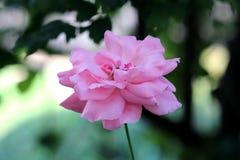 充分地开放明亮的桃红色上升了与在深绿叶子背景的厚实的层状瓣在地方庭院里 免版税库存照片