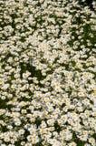 充分草甸开花的延命菊 免版税库存照片