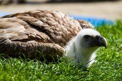 兀鹫在德国自然公园欺骗fulvus 图库摄影