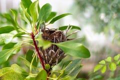 国王普罗梯亚木花在植物烘干的普罗梯亚木cynaroides 库存图片